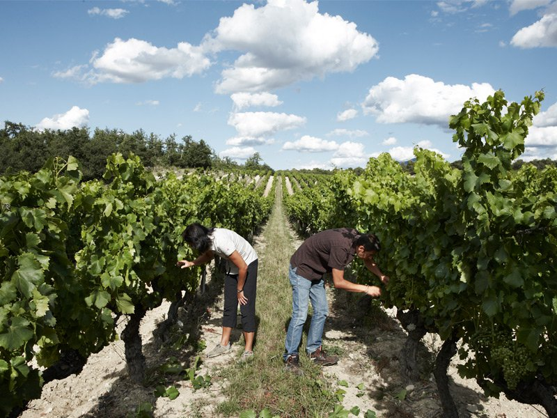 Xavier Rolet's sister Bénédicte and her husband Jean-Louis Gallucci inspect the vines. Photograph: Jude Edginton