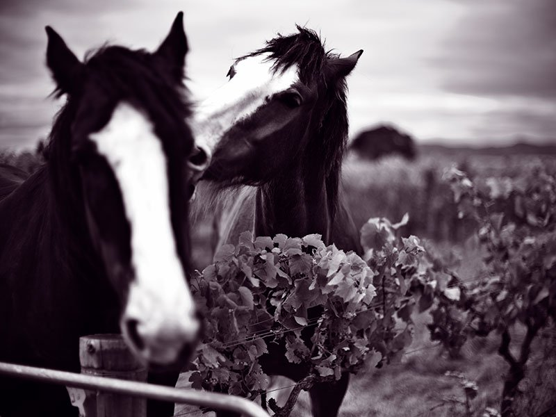 Horses, cows, and chickens are allowed into the vines on the Seresin Estate to eat pests and weeds, and to fertilize the soil with their manure. Photograph: Justyna Hrabska for Seresin Estate