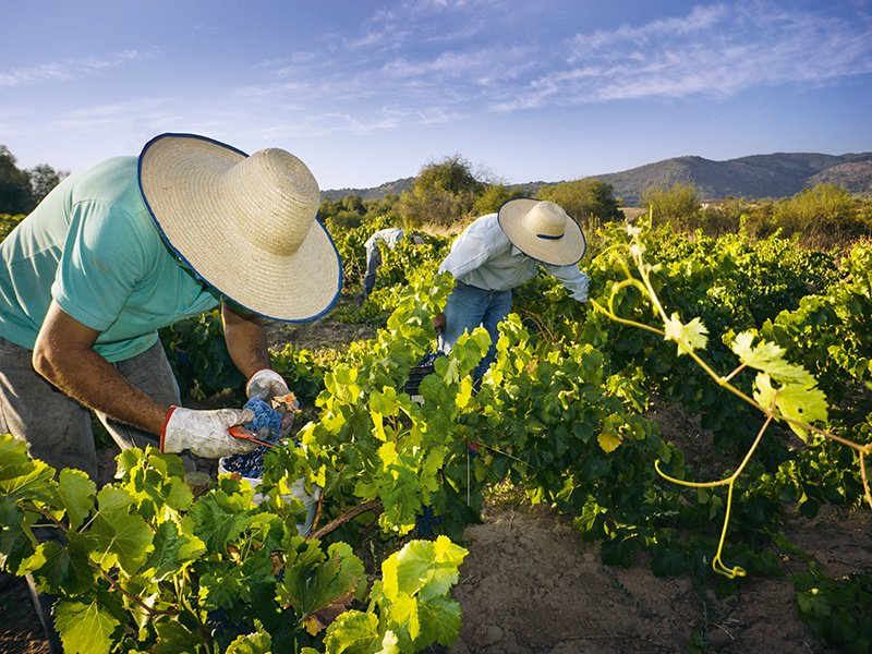 """Traditional winemaking methods, such as harvesting the grapes by hand, typify the attitude of Andrés Sánchez, creator of """"Chile's first appellation."""" Photograph: Cephas"""