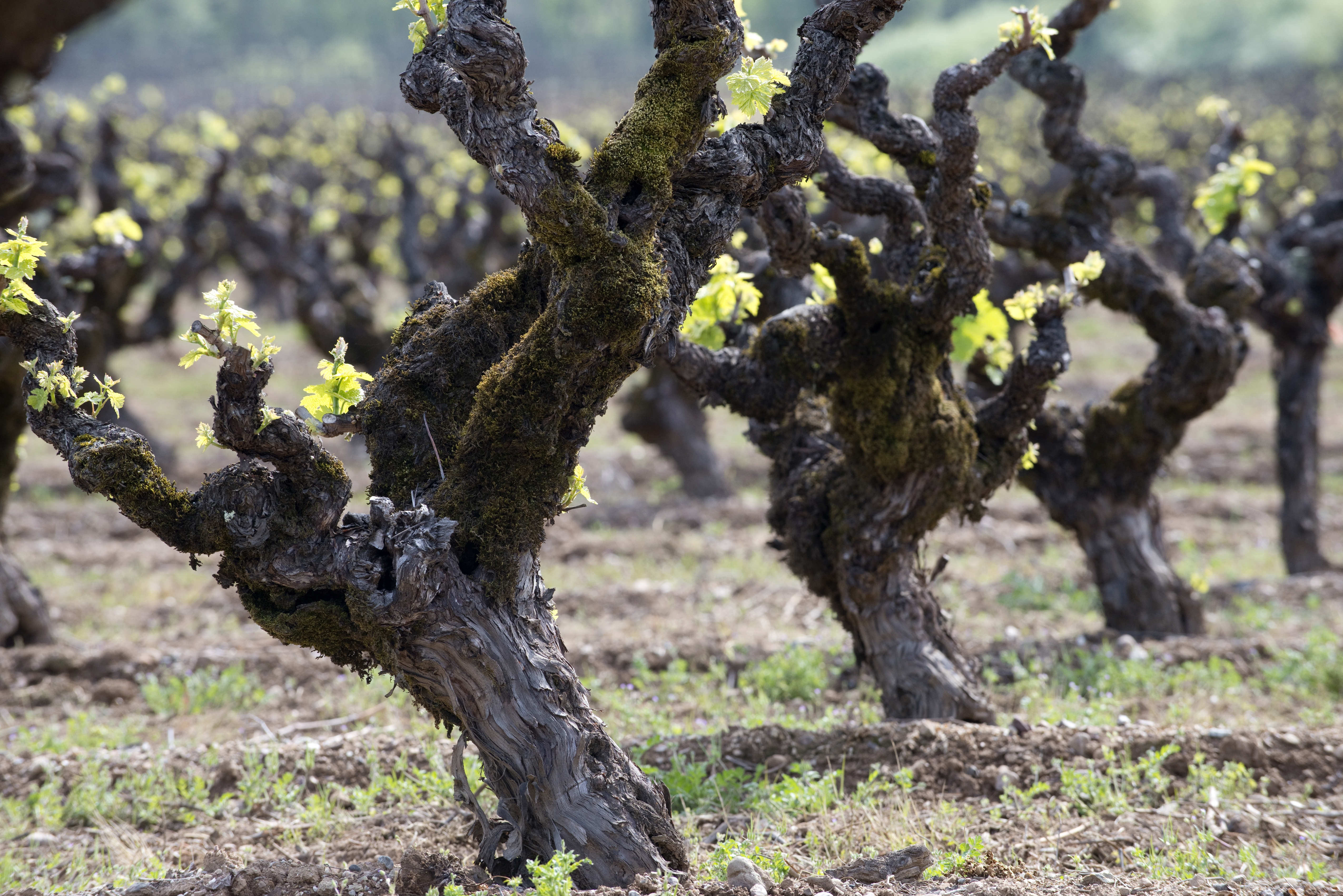 Old_vines_gnarly_wine_grapesGettyImages