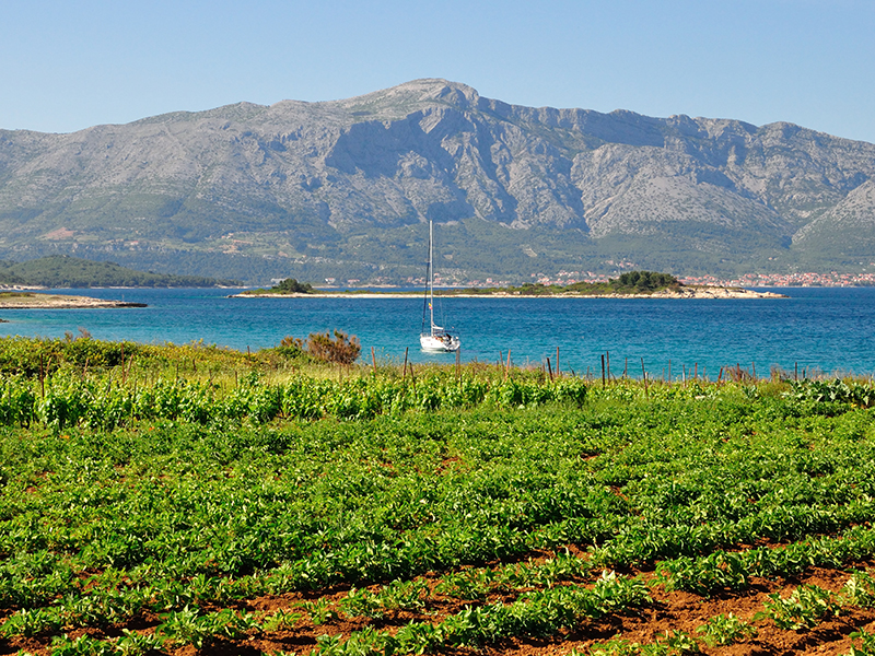 vineyard Lumbarda Croatia