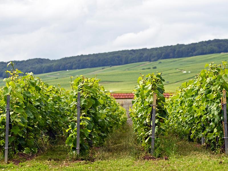 Vines in Krug's Clos d'Ambonnay vineyard, Champagne