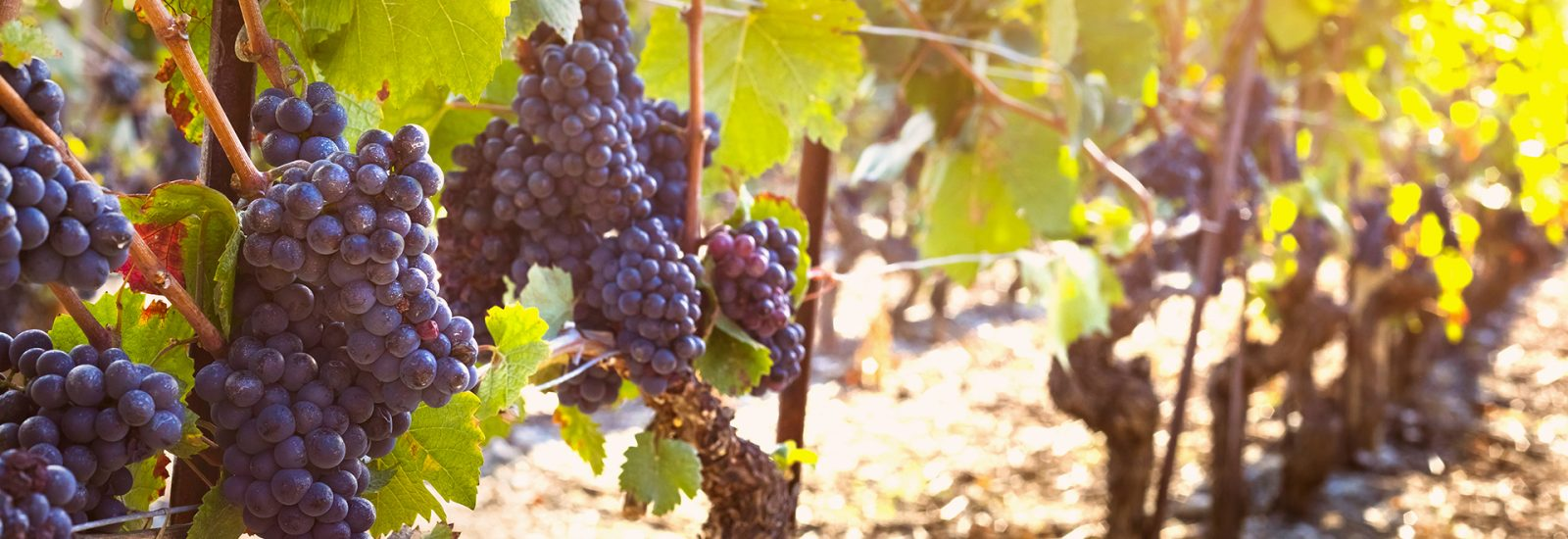 Bunch of ripe black grape, vine sunny autumn vineyards, harvest