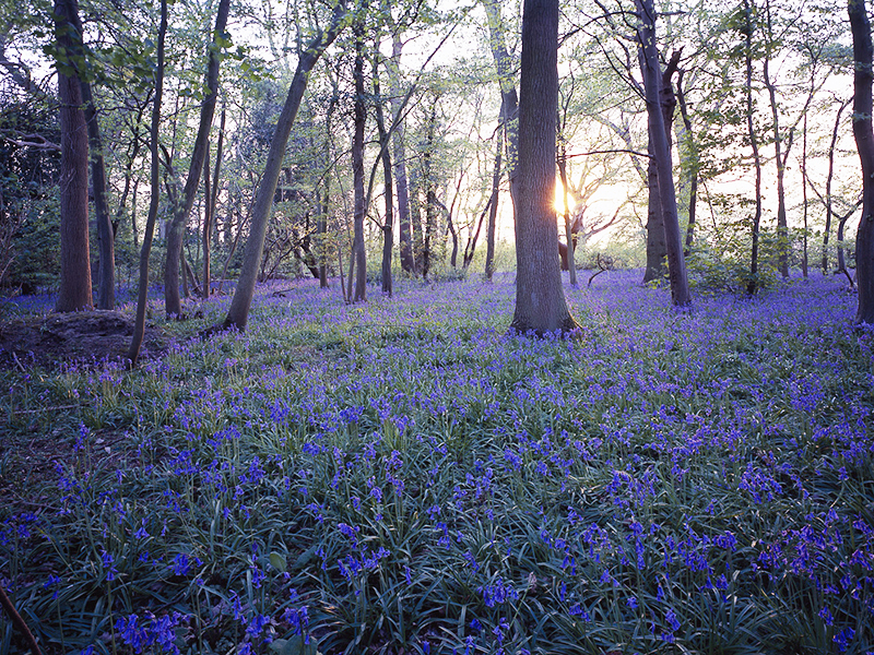 Wild bluebell flowers