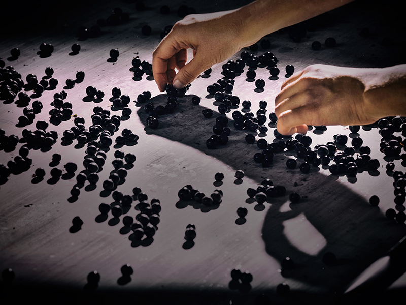 Cabernet Sauvignon grapes being sorted by hand