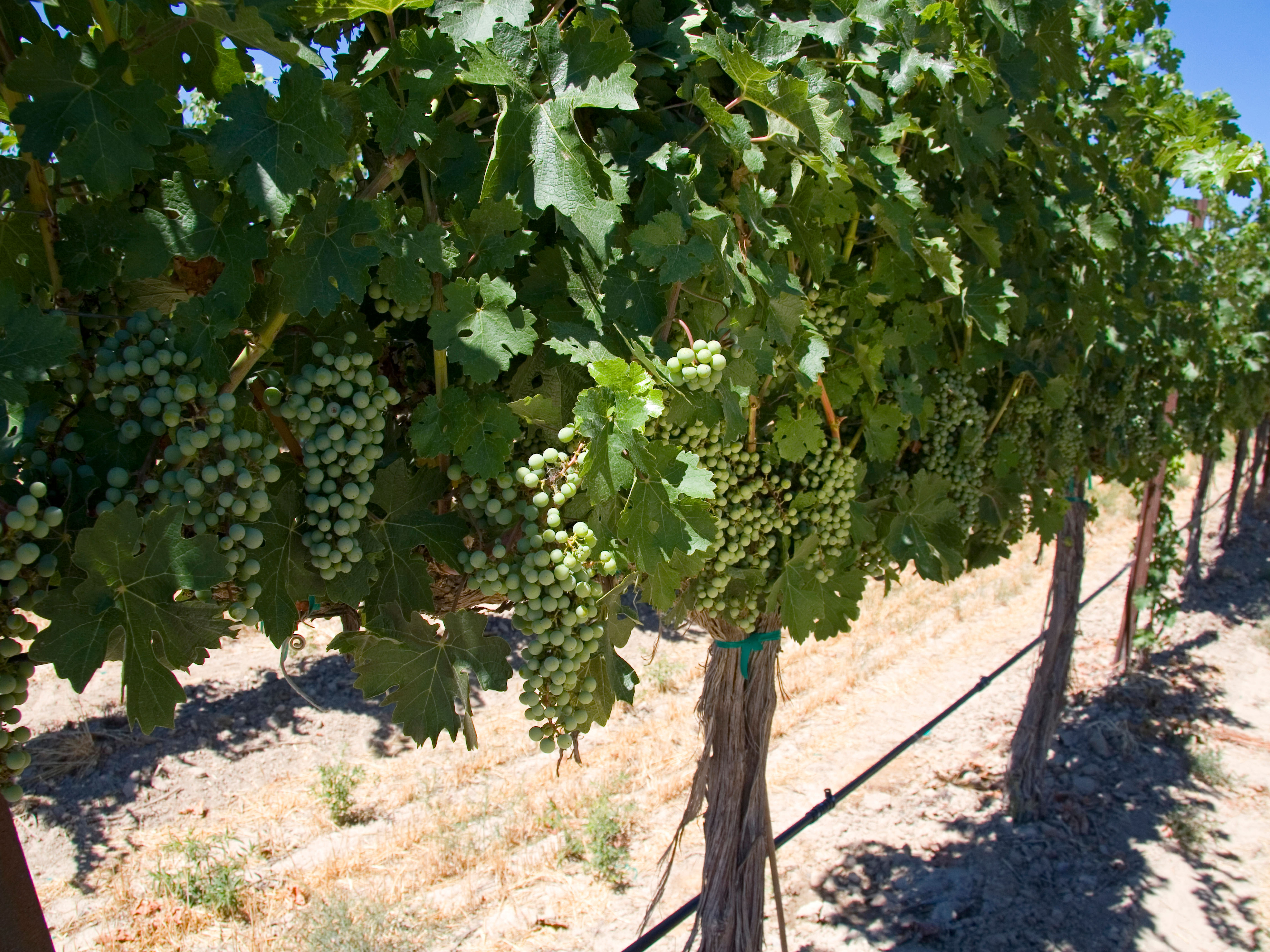 Grapes on the vine in Snake River Valley