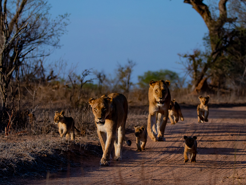 Lionesses and lion cubs in a South African wildlife park