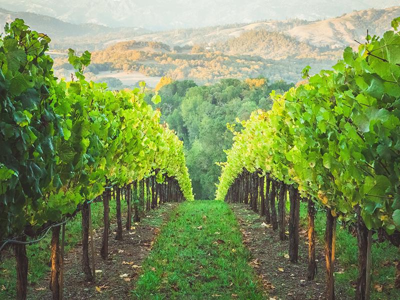 A vineyard in Healdsburg, California