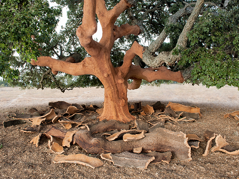 A cork tree with its bark stripped off