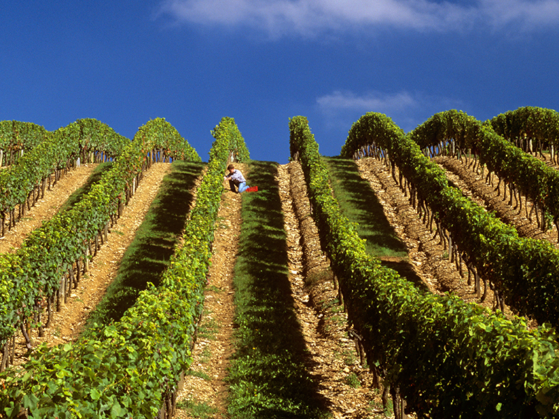 ineyard and wine worker in the Haute Cote de Nuits region of Burgundy France