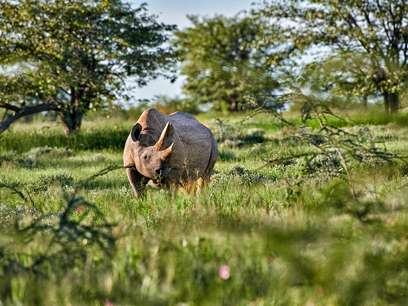 A black rhinoceros in green Namibian wilderness