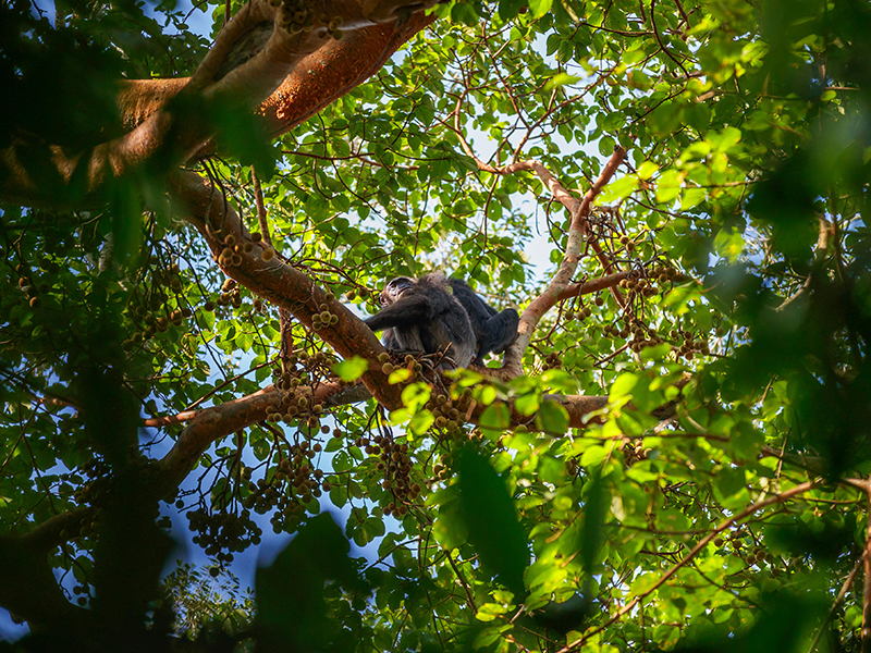 Two chimpanzees in a forest tree in Uganda