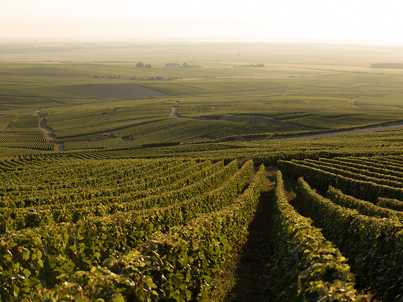 Maison Perrier-Jouët's Chardonnay vineyards in Champagne, France