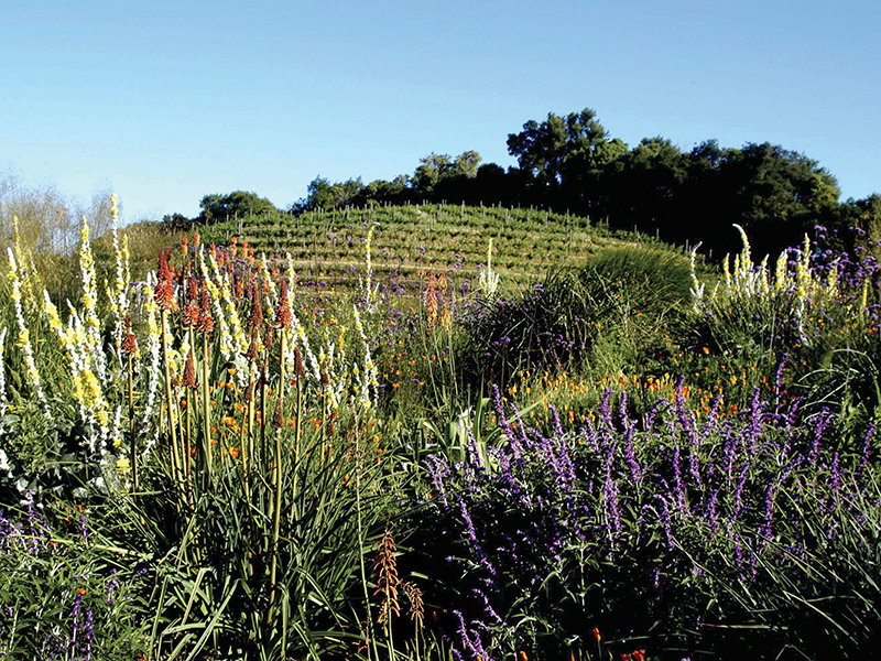 Wild flowers in front of a vineyard at Benziger wines