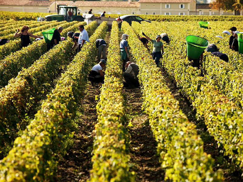 Harvesters pick grapes in a vineyard in Bordeaux
