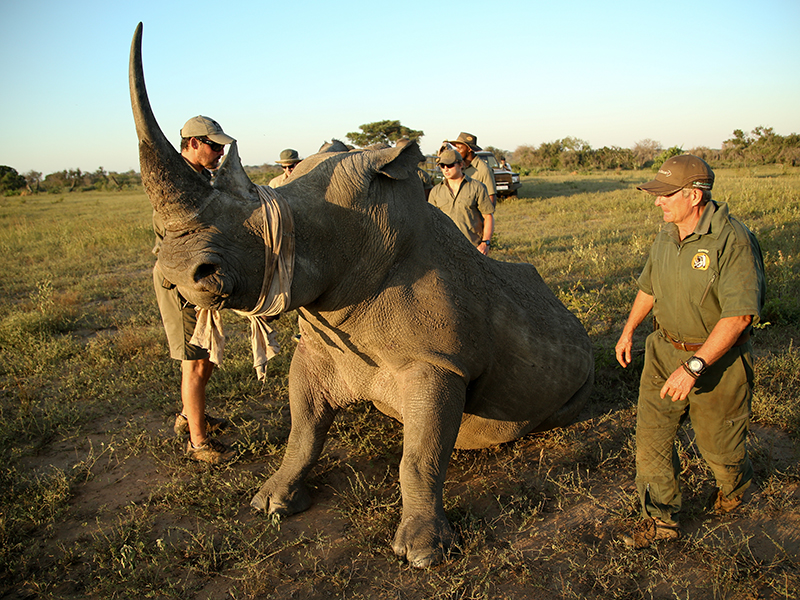 A bandaged rhino surrounded by rangers in grassland