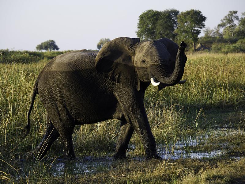 An elephant walks through long grass in a Botswana game reserve