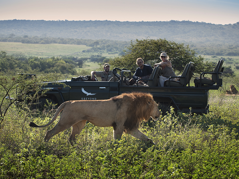 A lion walks past an open top vehicle during a safari offered by andBeyond, an eco travel operator