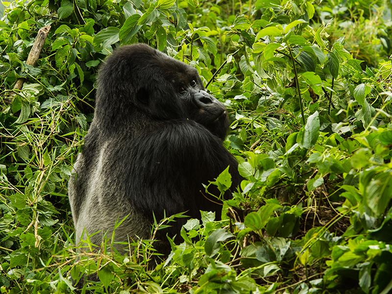 A large gorilla sits among green foliage