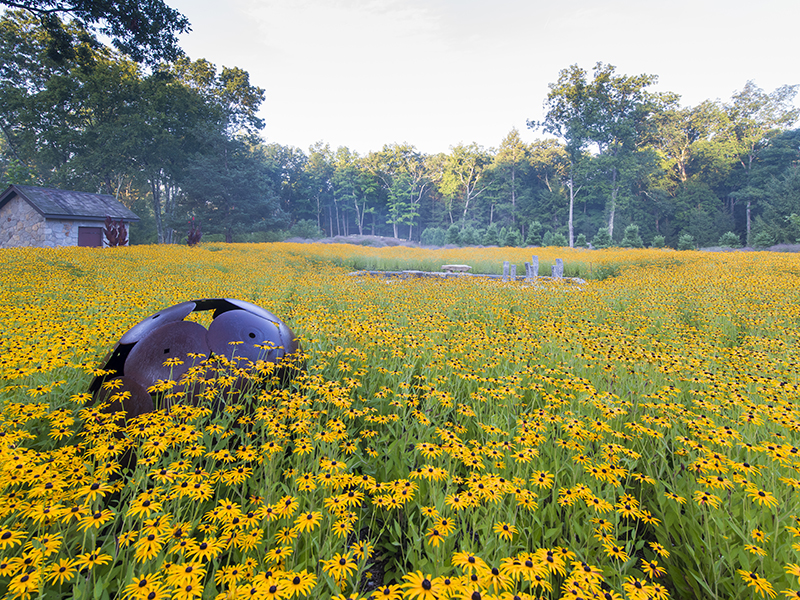 Yellow flowers stretch as far as the eye can see in a wildlife garden
