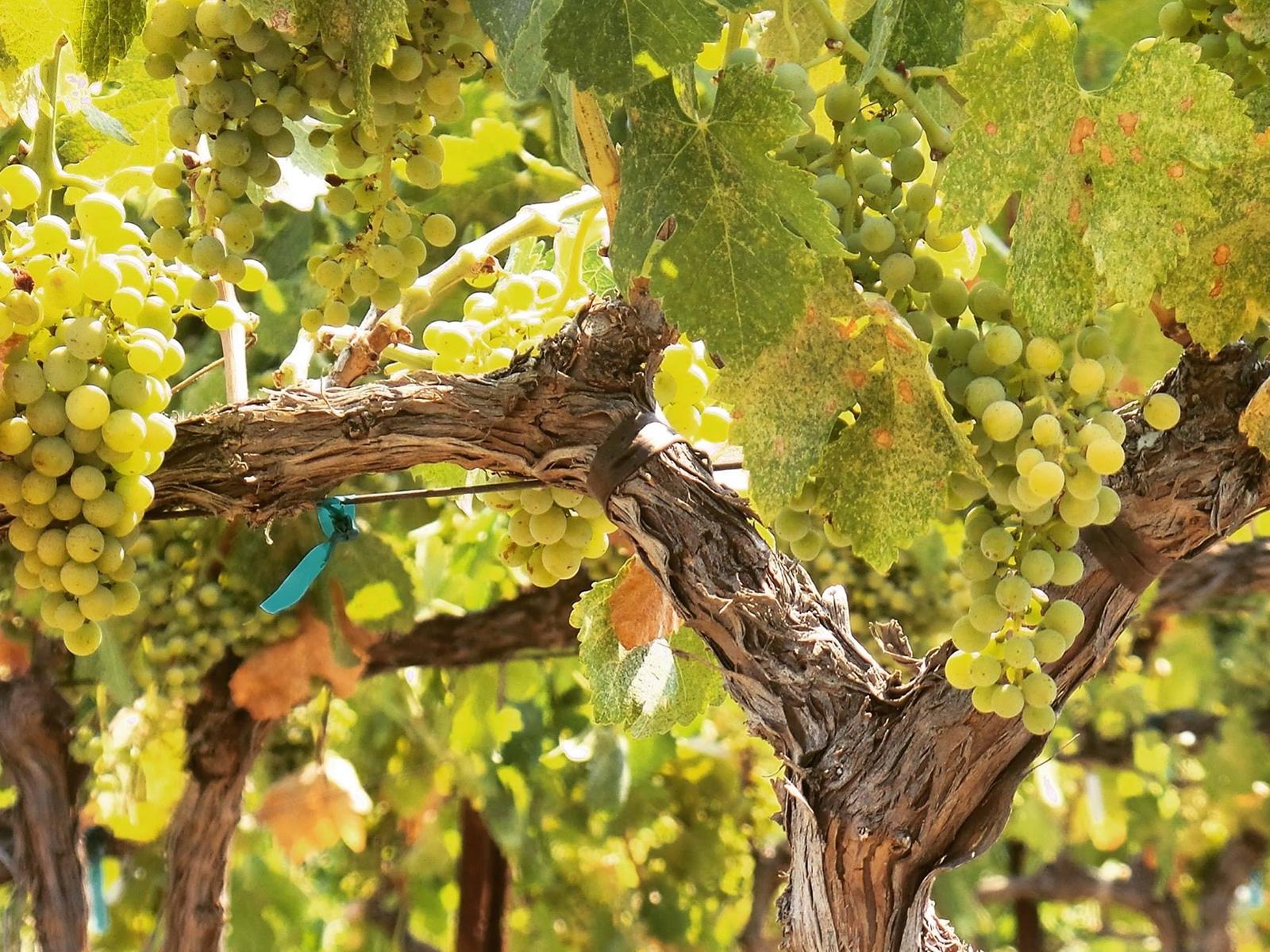 Viognier grapes on the vine