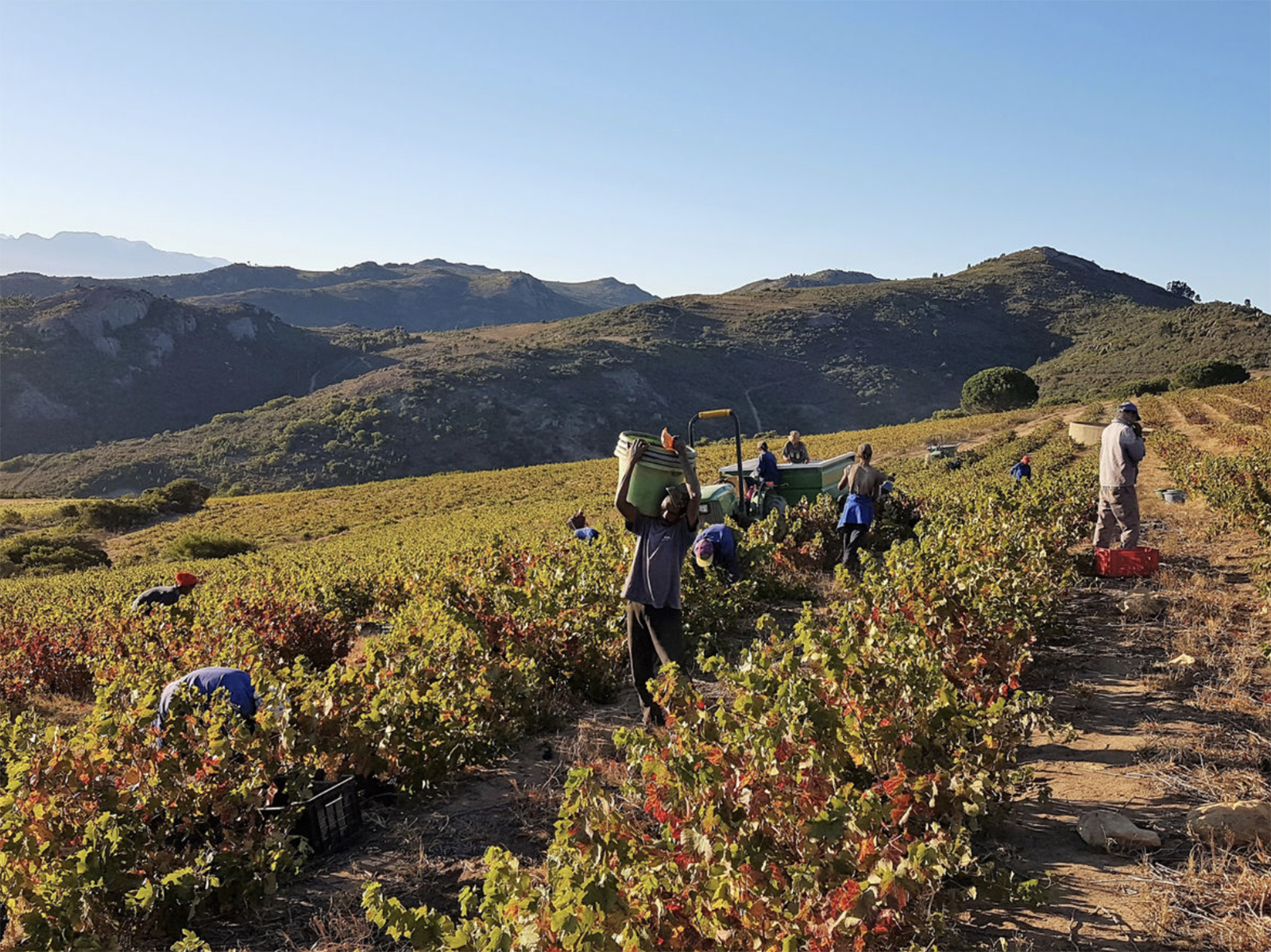 Workers harvest grapes at Babylon's Peak in South Africa